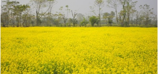 Long-stretch-of-seasonal-Mustard-winter-crop