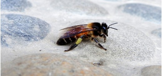 Indian Rock Bee