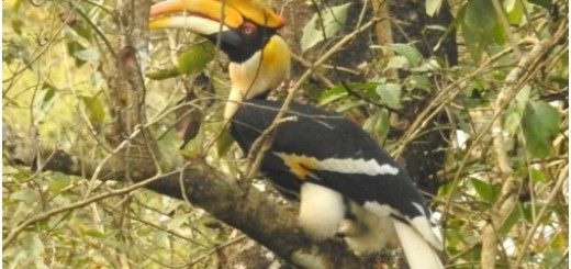 The Great Hornbill is counted in the list of endangered birds of Nepal