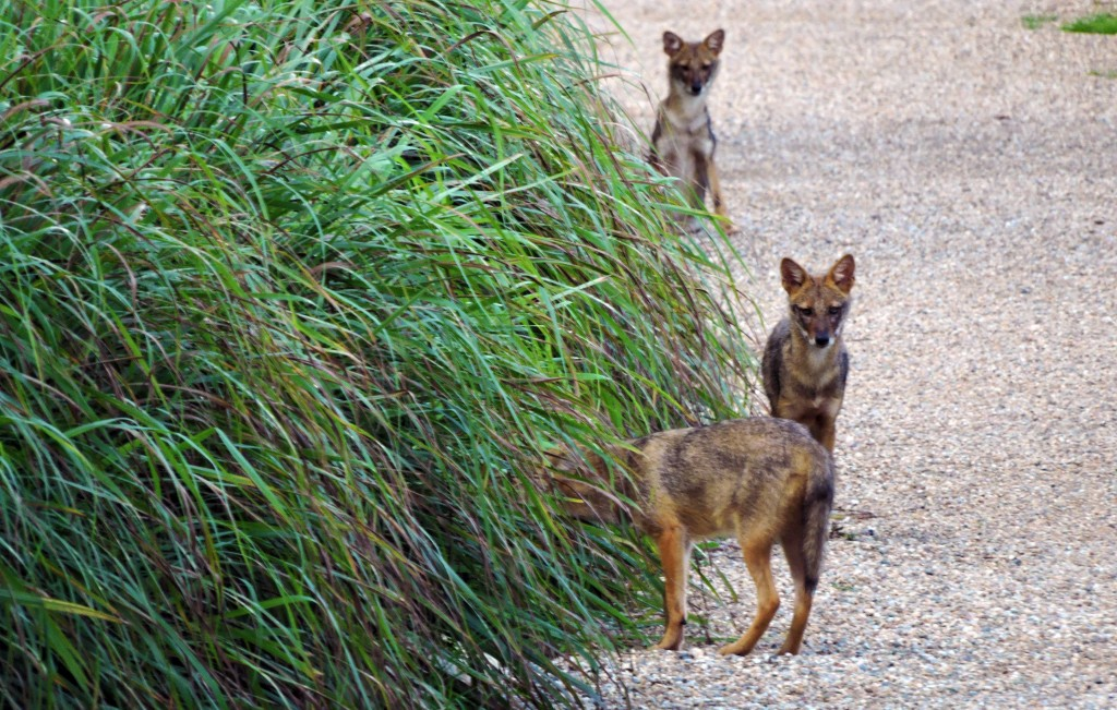 Jackals at Barahi Jungle Lodge