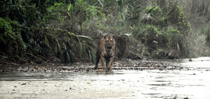Tiger-sighting-chitwan